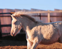 Portrait eines kleinen cremello Shetland-Ponyfohlens Lizenzfreie Stockfotos
