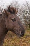 Portrait eines Konik Pferds Stockbilder