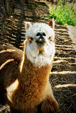 Portrait eines Lamas 2 Stockbild