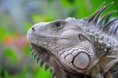 Portrait eines Leguans Stockfoto