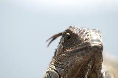Portrait eines Leguans Lizenzfreie Stockfotos