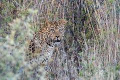 Portrait eines Leoparden lizenzfreie stockbilder