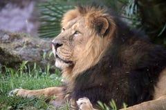Portrait eines männlichen Löwes (Panthera Löwe) Stockfotografie