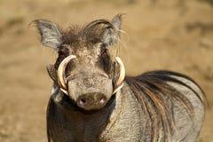 Portrait eines männlichen warthog Stockfotos