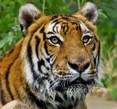 Portrait eines nassen Tigers lizenzfreie stockbilder