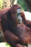Portrait eines Orang-Utans Lizenzfreies Stockfoto
