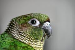 Portrait eines Papageien Stockbilder