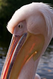 Portrait eines Pelikans Lizenzfreie Stockfotos