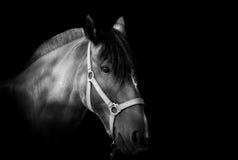 Portrait eines Pferds auf dunklem Hintergrund Stockbild