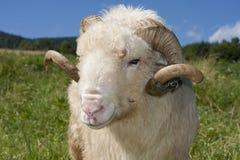 Portrait eines RAM Stockfotos