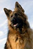Portrait eines reinrassigen Schäferhunds Lizenzfreies Stockbild