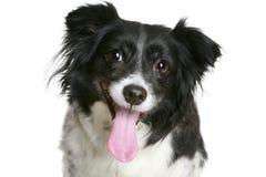 Portrait eines reizend Schwarz- u. weißenlächelnden Hundes lizenzfreie stockfotos