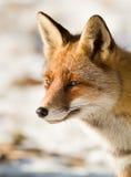 Portrait eines roten Fox Lizenzfreie Stockfotografie