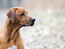 Portrait eines roten Hundes Stockfotos