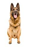 Portrait eines Schäferhunds Stockfotografie