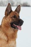 Portrait eines Schäferhunds Stockfotos