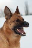 Portrait eines Schäferhunds Lizenzfreie Stockbilder