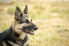 Portrait eines Schäferhunds Stockbild
