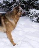 Portrait eines Schäferhunds Stockfoto
