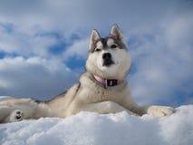 Portrait eines schönen heiseren Hundes Lizenzfreie Stockbilder