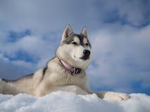 Portrait eines schönen heiseren Hundes Stockbild