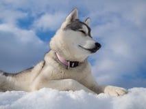 Portrait eines schönen heiseren Hundes Stockfoto
