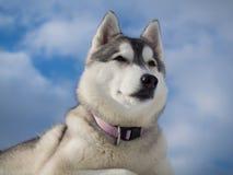 Portrait eines schönen heiseren Hundes Stockfotos