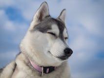 Portrait eines schönen heiseren Hundes Lizenzfreie Stockfotografie