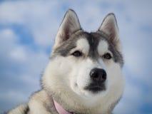 Portrait eines schönen heiseren Hundes Lizenzfreies Stockfoto