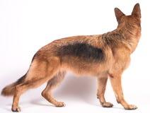 Portrait eines schönen Schäferhunds Stockbilder