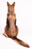 Portrait eines schönen Schäferhunds Stockfotos
