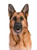 Portrait eines schönen Schäferhunds Lizenzfreies Stockbild