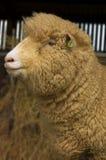 Portrait eines Schafs Stockfotos
