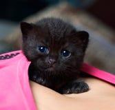 Portrait eines schwarzen britischen Kätzchens Lizenzfreies Stockfoto