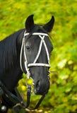 Portrait eines schwarzen Pferds Lizenzfreie Stockfotografie