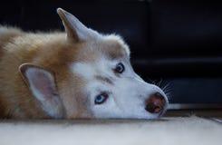 Portrait eines sibirischen Schlittenhunds Lizenzfreie Stockbilder