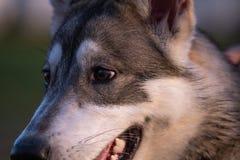 Portrait eines sibirischen Schlittenhunds lizenzfreie stockfotografie