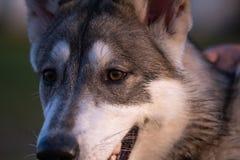 Portrait eines sibirischen Schlittenhunds lizenzfreies stockbild