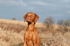 Portrait eines sitzenden Vizsla Hundes Lizenzfreie Stockfotografie