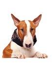 Portrait eines Stierterriers lizenzfreies stockbild