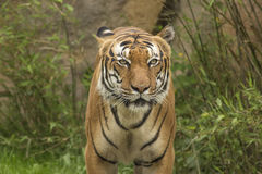Portrait eines Tigers Lizenzfreies Stockfoto
