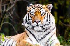 Portrait eines Tigers stockfotografie
