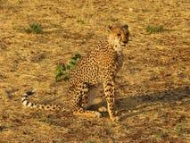 Portrait eines wilden afrikanischen Geparden Stockfotos