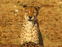 Portrait eines wilden afrikanischen Geparden Stockbilder