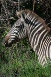 Portrait eines Zebra. Stockfoto