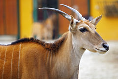 Portrait of Eland Antelope (Taurotragus oryx) Royalty Free Stock Photo
