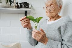Portrait of elderely grey haired woman examining young plant at home. Portrait of elderly grey haired woman at home examining seedling for future planting. White stock photography