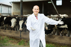 Portrait of elderly male veterinary caring cows. In farm Royalty Free Stock Image