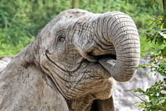 Portrait of a elefant. Detail on the elephant's head to be fed Royalty Free Stock Photo