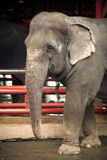 Portrait of an elephant. Portrait of an adult elephant in the Thai zoo Stock Image